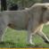 मोम का शेर