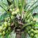 आखिर कहां से आया नारियल ?