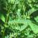 औषधीय पौधा- ग्रेट मुलेन